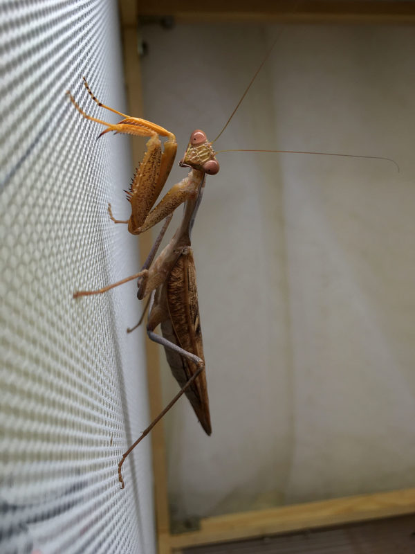Adult male of African Mantis (S. lineola).