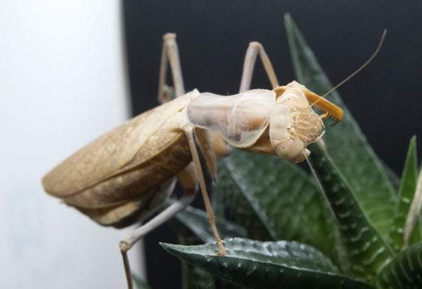 Adult female of African Mantis (S. lineola).