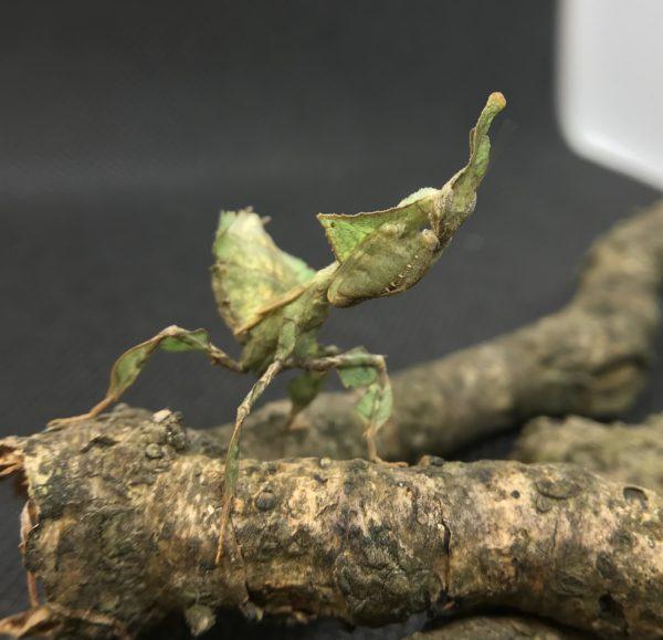 Sub adult Ghost Mantis (P. paradoxa) female