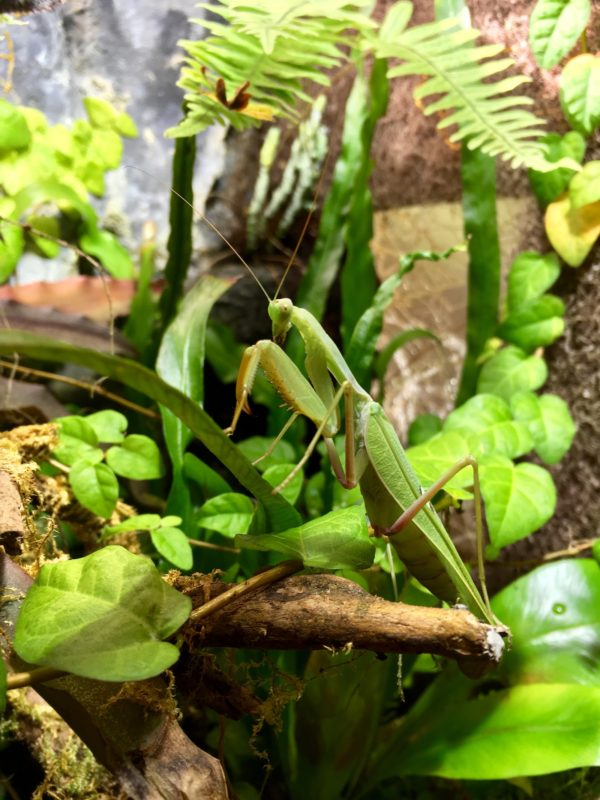 Male of African Mantis (S. lineola), green morph.