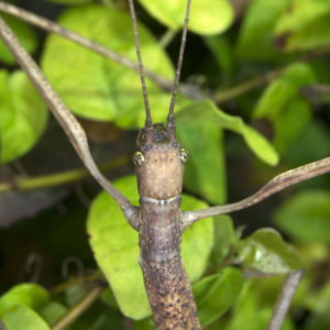 Bud wings of Bud-wing Stick Insect (Phaenopharos khaoyaiensis)
