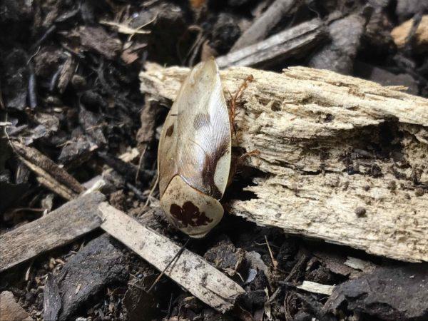 Male of Centurion Roach (Gyna centurio)
