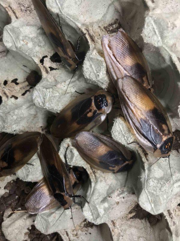 Colony of Death's Head Cockroach (Blaberus craniifer).