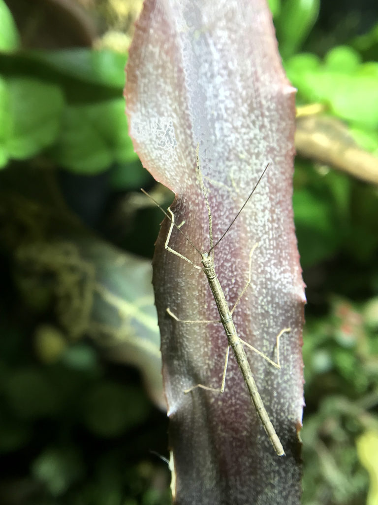 Nymph of Bud-wing Stick Insect (Phaenopharos khaoyaiensis)