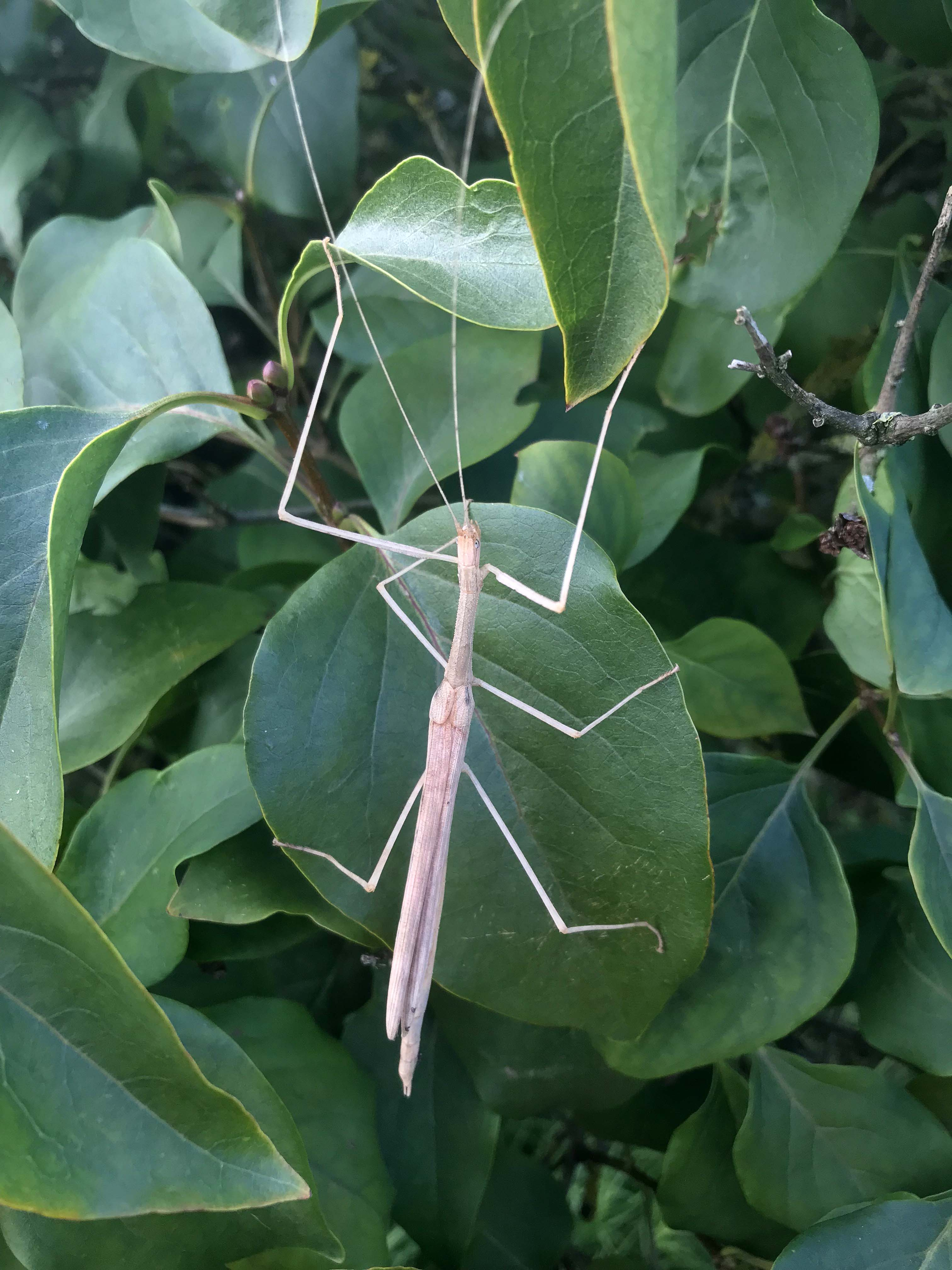 Adult female of Pink Winged Stick Insect (Sipyloidea sipylus)