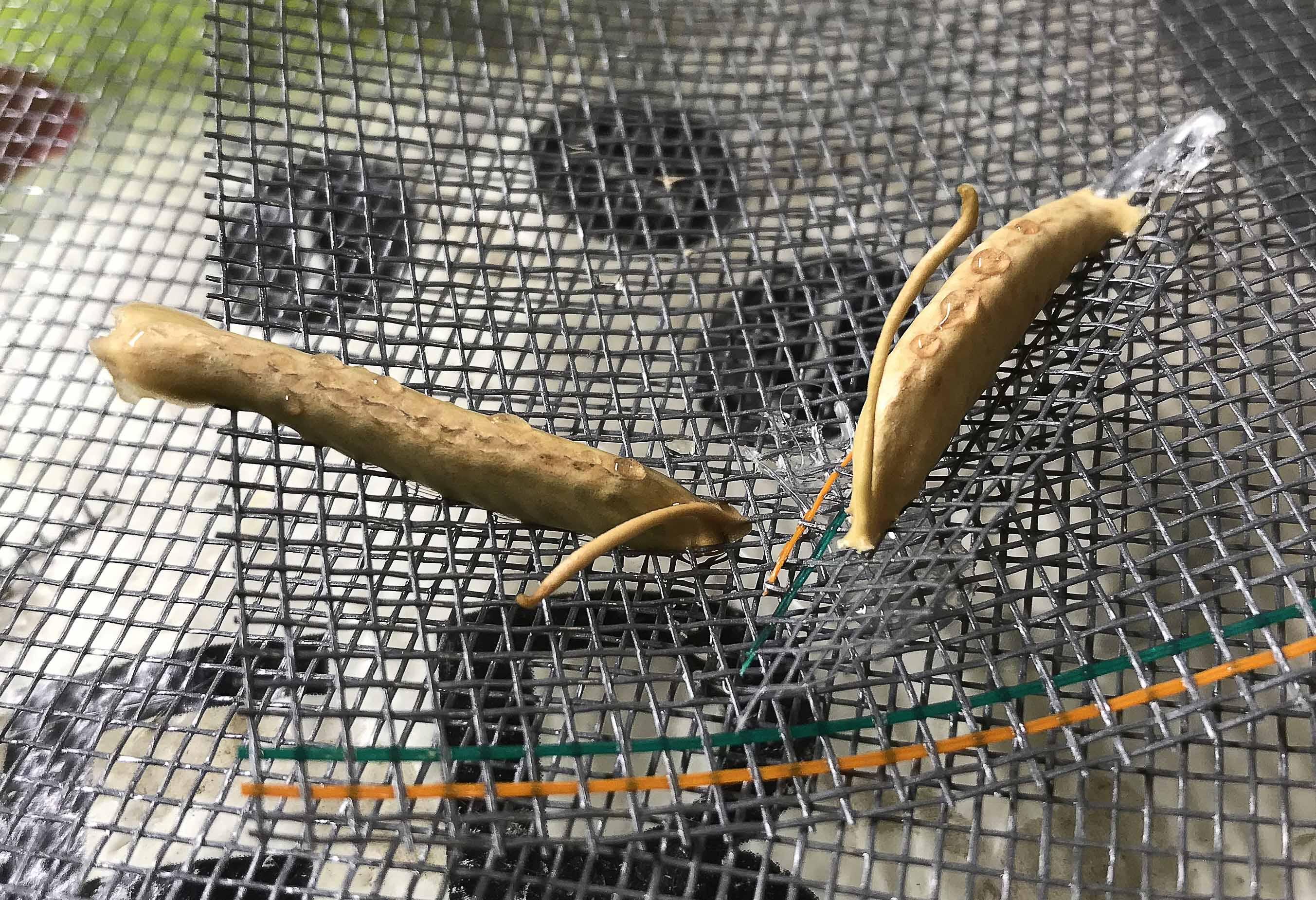 Ooths of Ghost Mantis (P. paradoxa).