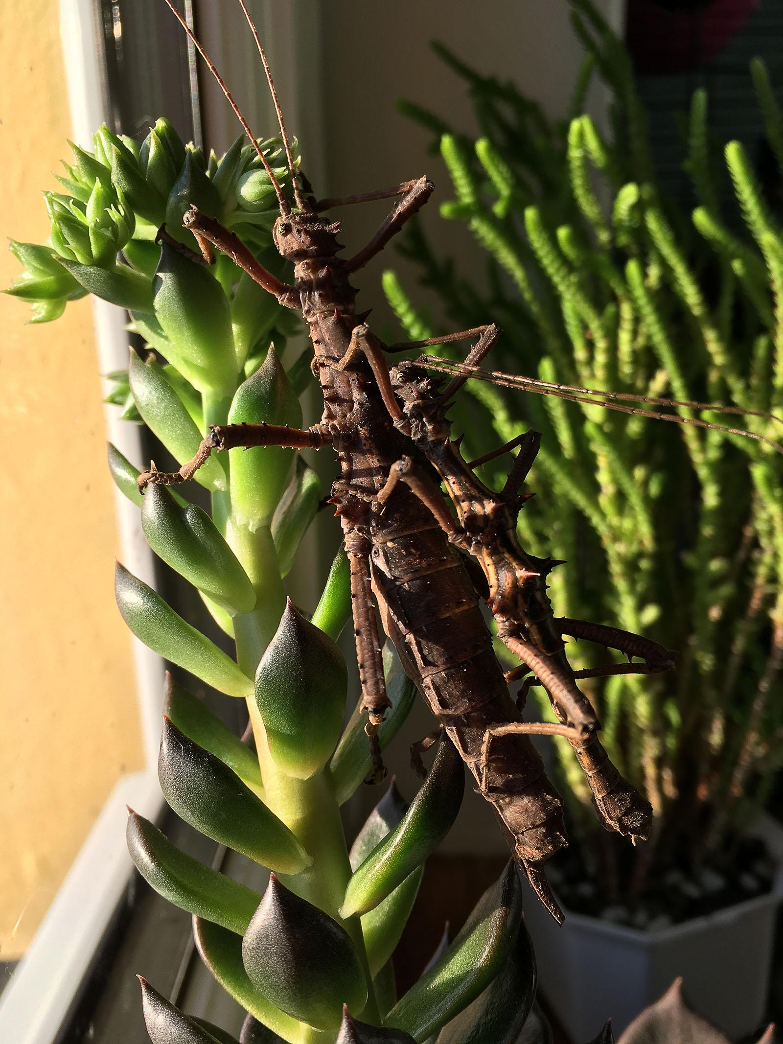 Pair of Thorny Stick Insect (Aretaon asperrimus).