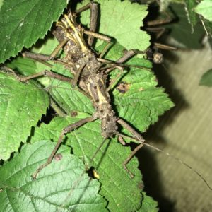 Pair of Thorny Stick Insects (A. asperrimus).