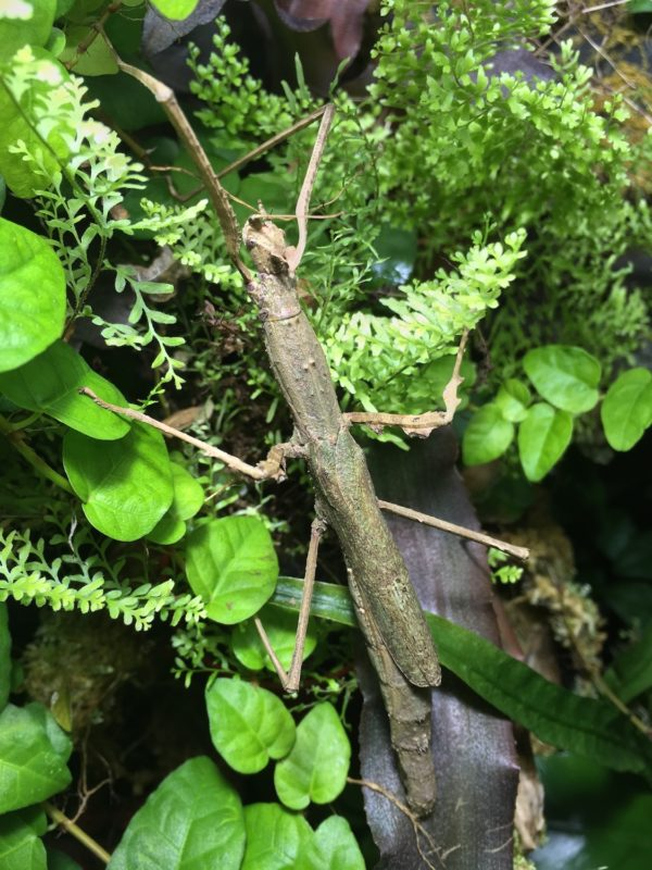 Female of Crowned Stick Insect (Onchestus rentzi).