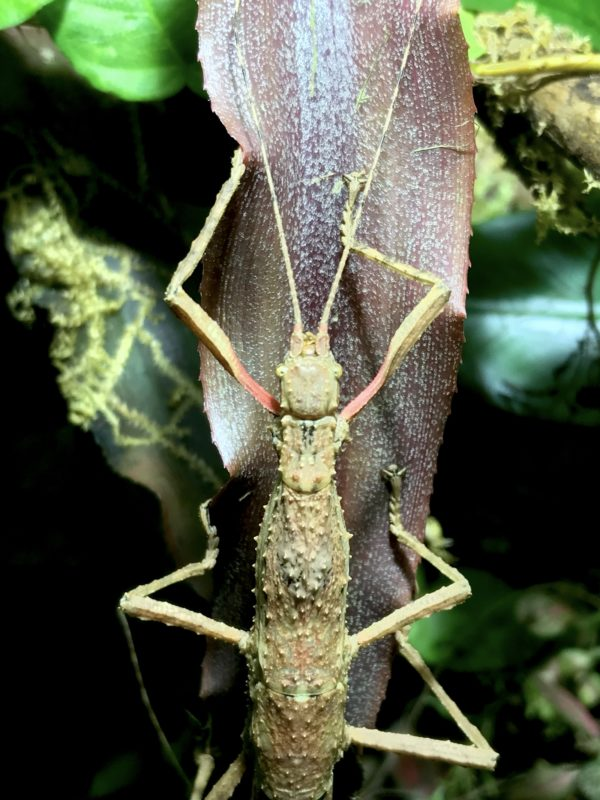 Female of Guadalupe Stick Insects (Lamponius guerini).