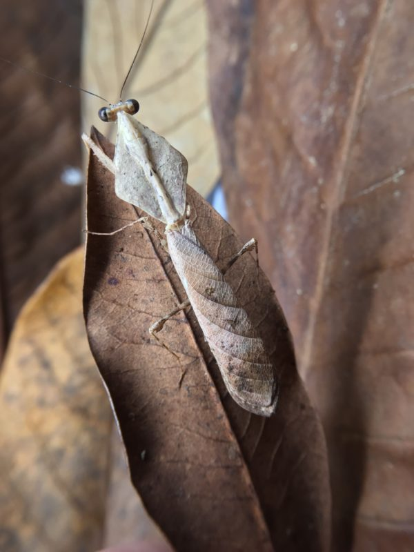 Adult male of Dead Leaf Mantis (Deroplatys lobata)