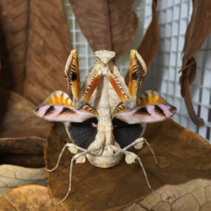 Deimatic behaviour of female of Dead Leaf Mantis (Deroplatys lobata)