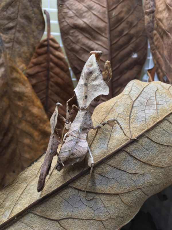 Adult couple of Dead Leaf Mantis (Deroplatys lobata)