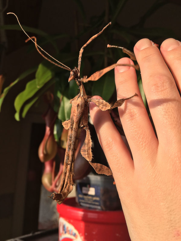 Adult male of Giant Prickly Stick Insect (Extatosoma tiaratum).